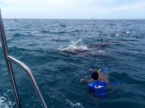 Into the water, snorkeling toward the whale