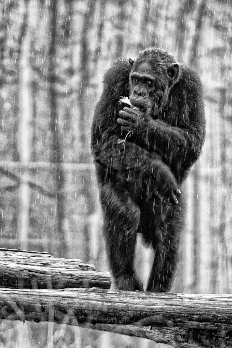 Raining Ape  di Andrea Izzotti