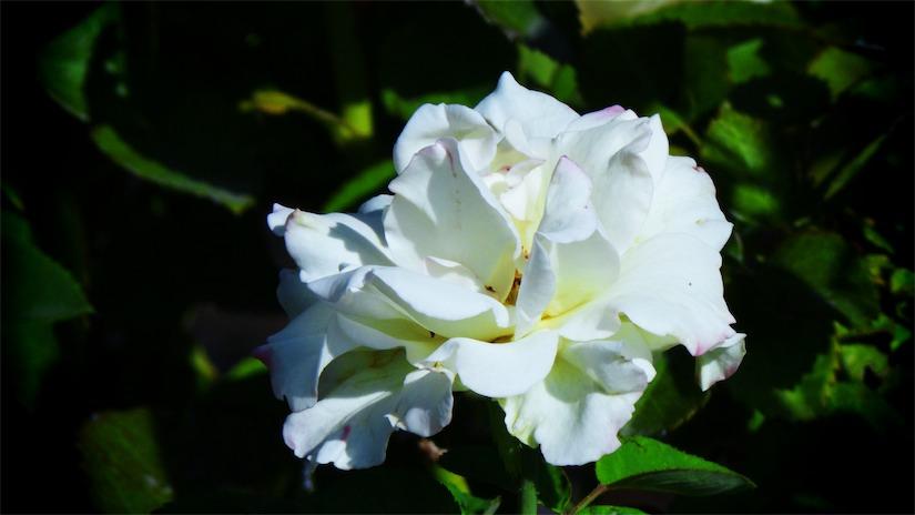 White Dwy Rose.jpg