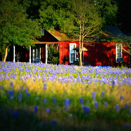 House in the Bluebonnets by Rhonda Kay - Buildings & Architecture Homes