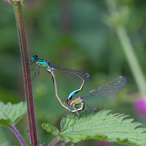 Damselfly Gymnasts by Louise Morris - Animals Insects & Spiders ( nettle, damselflies, copula )