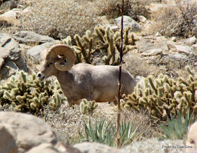 Photo: (Year 3) Day 35 - One of the Bighorn Sheep #3