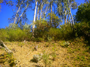 Photo: Here is a manzanita under eucalypti, surrounded by broom.