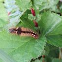 Grass Knot Caterpillar