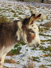 Photo: White and brown donkey in a snowy field at Carriage Hill Metropark in Dayton, Ohio.