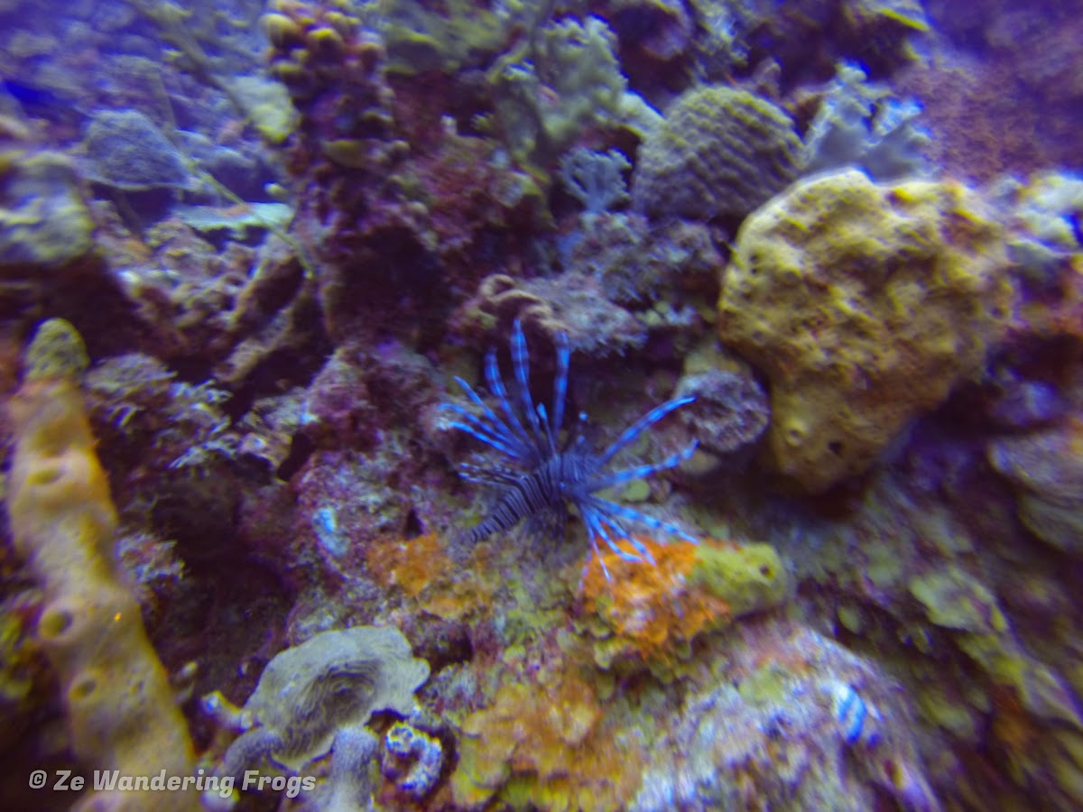 Bonaire Dive Sites // Lionfish