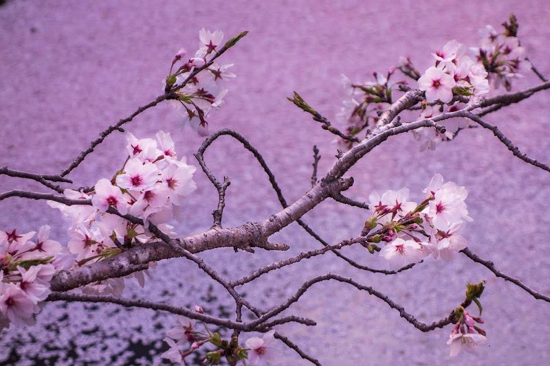 Sakura su letto di fiori di ciliegio di ilariucci