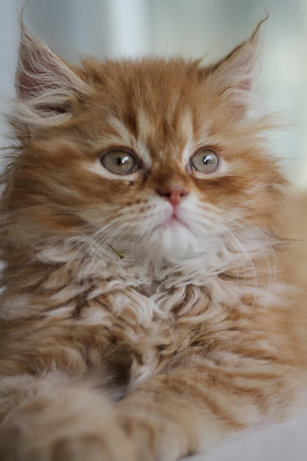 Pumpkin by Tawfik Dajani - Animals - Cats Kittens