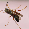 Northern Paper Wasp, male