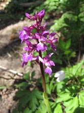 Photo: Early purple orchid 26 April 20152015 © Pauline Popely 2015