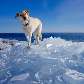 Betsy on Ice by Sandra Updyke - Animals - Dogs Portraits ( winter, dogs, betsy, lake superior, ice pilings, blues )