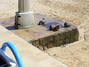 Photo: Even the local pigeons are enjoying the sun and water today.
