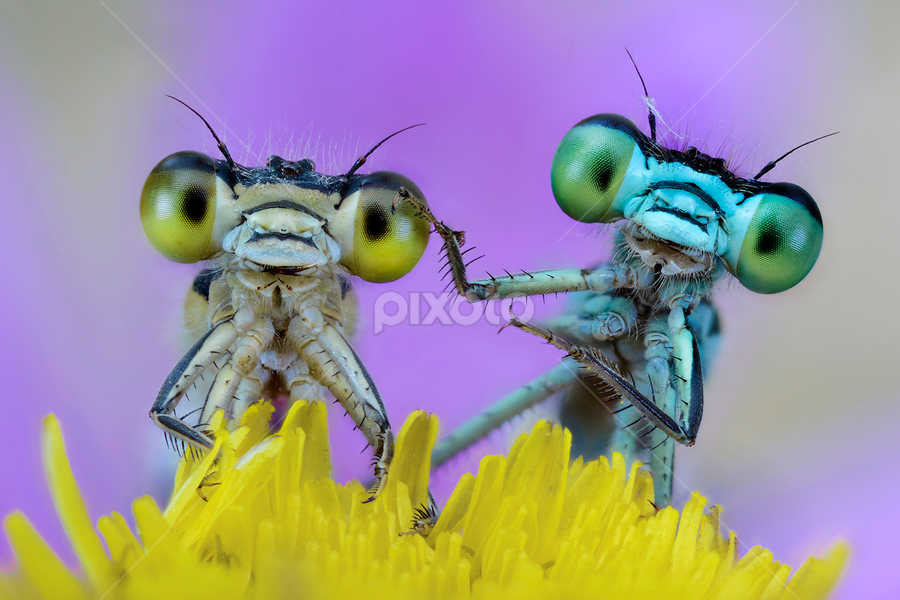 Happy to be damselfly by Alberto Ghizzi Panizza - Animals Insects & Spiders ( love, macro, damselfly, happy, funny, bug, happiness, big, small, friend, eye,  )