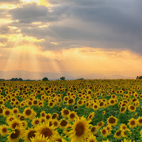 Sun Ray Sunset Sunflower by Heather Diamond - Landscapes Prairies, Meadows & Fields ( clouds, orange, starburst, green, beautiful, colorado, sunflower, beauty, yellow, scenic, glow, drama, landscape, sun, rays, sun rays, field, red, nature, sunset, dramatic, scenery, natural, flower, relax, tranquil, relaxing, tranquility )