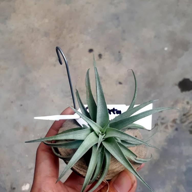 Tillandsia Capitata Silver Rose (Mini Clump) by AquaticsForevers Enterprise