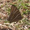 Treble Silverstripe Butterfly