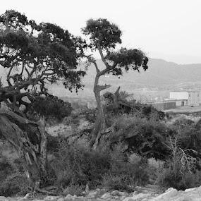 Moroccan argan tree.  by Mehdi Laraqui - Landscapes Mountains & Hills ( moroccan oil. imessouane, tree, nature, argan, black and white, background, landscape., morocco, b and w, landscape, b&w, monotone, mono-tone )