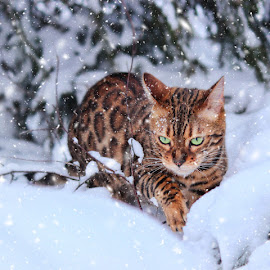 by Jane Bjerkli - Animals - Cats Portraits (  )