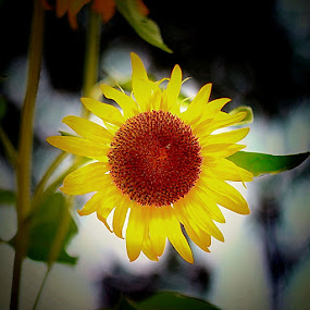 Sun Flower by Lensa Surabaya - Nature Up Close Flowers - 2011-2013 ( sun flower lensa surabaya )