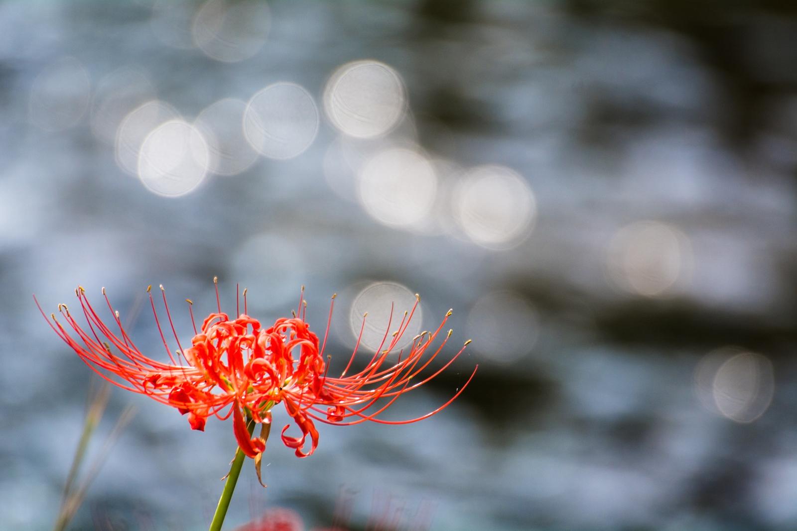 Photo: めぐる季節に別れを告げて Say goodbye to circle of life.  ゆったりとした水の流れ 流れは季節を運びめぐらせる 傍らに咲く曼珠沙華も 別れを告げるかのように 柔らかな光りをそっとこぼしていく  Photo of red spider lily. (二ヶ領の彼岸花) Nikon D7100 APO 50-500mm F4.5-6.3 DG OS HSM #flower #nature #cooljapan #100tokyo #365cooljapanmay [ Day145, October 4th ]