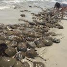 Atlantic Horseshoe Crabs