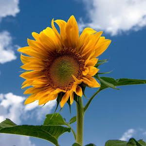 Sunflower 4682-1s.jpg