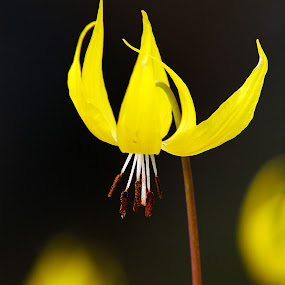 Glacier Lilly by Shaun Schlager - Nature Up Close Flowers - 2011-2013 ( idaho, hill, tubbs, yellow, flowers, glacier lilly, spring, lilly, cour d alene )