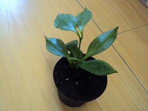 Photo: Hoya pseudolittoralis