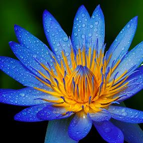 by Germzki Hitch Cardenas - Flowers Single Flower