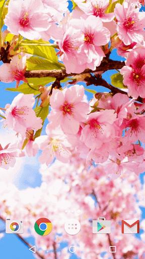 桜ライブ壁紙 - 美しい写真