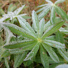 Big-leaved Lupine