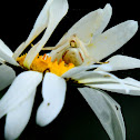Goldenrod crab spider (female)