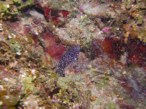 Photo: Spotted Eel