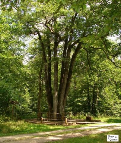 arbre remarquable des 6 frères à Moyemont