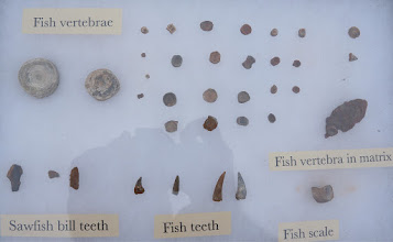 Photo: John's research is especially interested in fossils of vertebrates, such as fish.