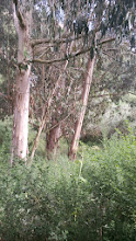 Photo: Eucalyptus trees surrounded by a dense thicket of French broom, another invasive fire hazard. Broom provides a fuel ladder to the eucalyptus crown.