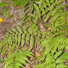 Southern Lady fern