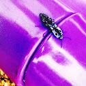 Eastern-Eyed Click Beetle