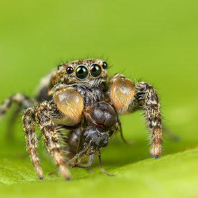 Jumping Spider with Flying Ant by Amanda Blom - Animals Insects & Spiders ( canon, macrophotography, macro photography, green, nature close up, macrophoto, insect, macro, nature, naturelover, jumpingspider, nature up close, spider, ant )