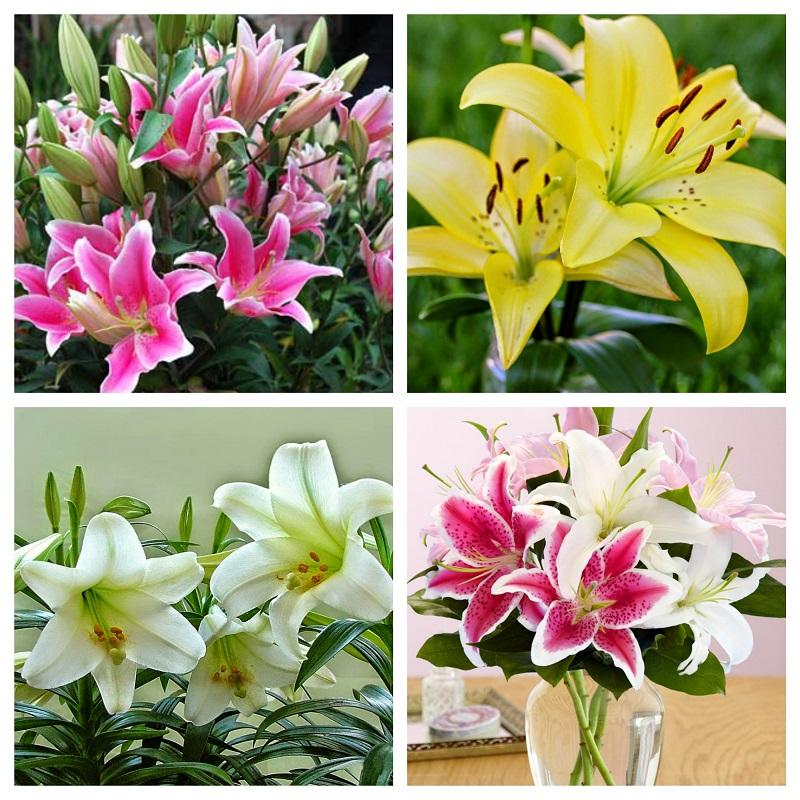 Có rất nhiều giống hoa Ly đang được trồng ở Việt Nam