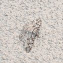 Large Purplish Gray Moth