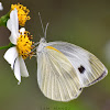 India Cabbage White