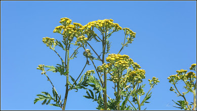 Photo: Crizanteme mici, Vetrice (Tanacetum vulgare) - de pe Str. Baladei - 2017.06.10