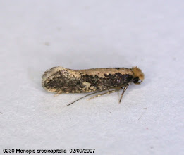 Photo: 0230 Monopis crocicapitella