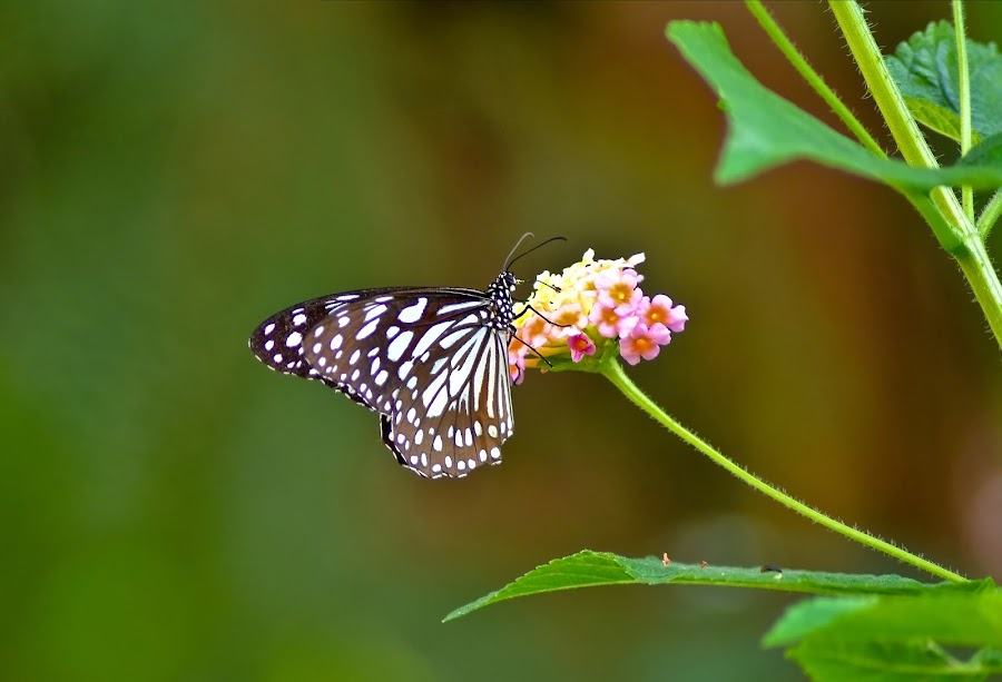 A Glassy Tiger on Lantana by Amit Naskar - Animals Insects & Spiders