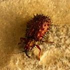 Spiky Leaf Beetle