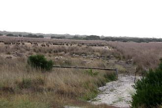 Photo: Year 2 Day 226 - Sheep Grazing at The Granites