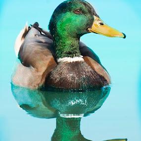Duck on Water by William Underwood  - Animals Birds