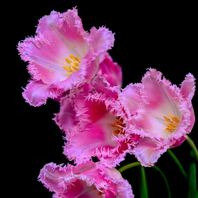 Tulips by Alina Dinu - Flowers Flower Arangements ( bouquet, pink flowers, nature, pink, close up flower, tulips, flowers, flower,  )