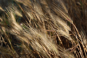 Photo: Golden Grain